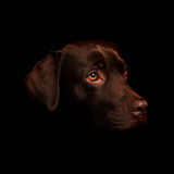 Chocolate Labrador. This is a portrait of a Chocolate Labrador names Scooby against a black background Stock Photo