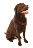 Chocolate Labrador. This is a portrait of a Chocolate Labrador named Scooby Stock Photography