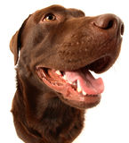 Chocolate Labrador. This is a portrait of a Chocolate Labrador named Scooby Royalty Free Stock Image