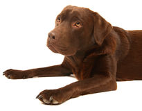 Chocolate Labrador. This is a portrait of a Chocolate Labrador Royalty Free Stock Images