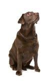 Chocolate Labrador Stock Image
