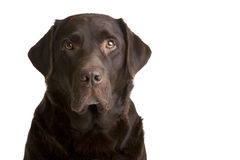 Chocolate Labrador. Brown Chocolate Labrador sat in studio on a white background royalty free stock images