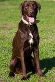 Chocolate Labrador Foto de archivo libre de regalías