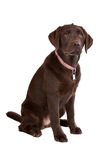 Chocolate Labrador Royalty Free Stock Photo