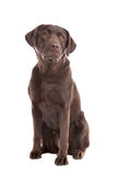 Chocolate Labrador Royalty Free Stock Image