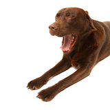 Chocolate labrador. A chocolate labrador yawning on a white backdrop Royalty Free Stock Photography