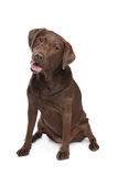 Chocolate Labrador Royalty Free Stock Photos