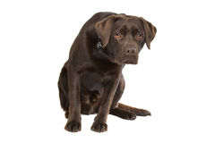 Chocolate Labrador Stock Photos
