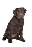 Chocolate Labrador. In front of a white background Royalty Free Stock Photos