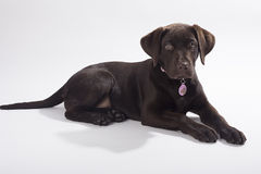 Chocolate Labrador foto de archivo