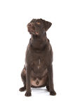 Chocolate Labrador Stock Image