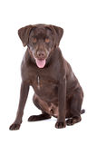 Chocolate Labrador Royalty Free Stock Photo