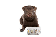 Chocolate labrador Royalty Free Stock Images