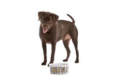 Chocolate Labrador Stock Images