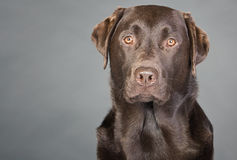 Chocolate Labrador against Grey Royalty Free Stock Photos