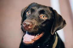 Chocolate Labrador Close Up Head Stock Photo
