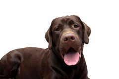 Chocolate labrador close up on a white background Royalty Free Stock Photo