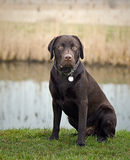 Chocolate Labrador in the Countryside Stock Photos