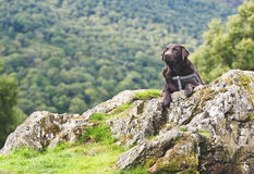 Chocolate Labrador in Countryside Royalty Free Stock Photography