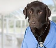 Chocolate Labrador Doctor with Stethoscope Royalty Free Stock Photo