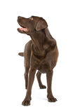 Chocolate Labrador dog Royalty Free Stock Photography