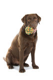 Chocolate Labrador dog Stock Image