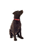 Chocolate Labrador dog Royalty Free Stock Photos