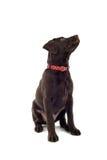 Chocolate Labrador dog. Close up of Chocolate Labrador Retriever dog isolated on white background Royalty Free Stock Photos