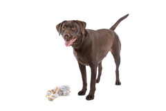 Chocolate Labrador dog Stock Photos