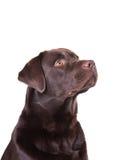 Chocolate labrador. Dog against white background royalty free stock photo