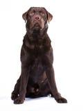 Chocolate labrador. Dog against white background stock images