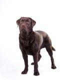 Chocolate labrador. Dog against white background royalty free stock image