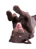 Chocolate labrador. Dog against white background stock image