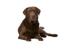 Chocolate Labrador dog Royalty Free Stock Image