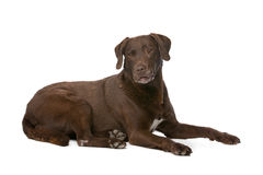 Chocolate Labrador dog Stock Image