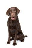 Chocolate Labrador dog Royalty Free Stock Photos
