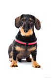 Chocolate Labrador dog Royalty Free Stock Images