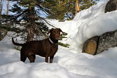 Chocolate Labrador dog in the snow. Brown labrador retriever dog playing in the snow Royalty Free Stock Image