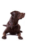 Chocolate Labrador Dog on white background Royalty Free Stock Photo