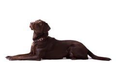Chocolate Labrador Dog on white background Royalty Free Stock Images