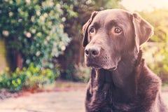 Chocolate Labrador en jardín Foto de archivo