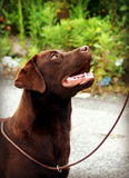 Chocolate labrador female looking Royalty Free Stock Image