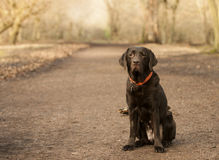 Chocolate labrador in the forest Royalty Free Stock Photo