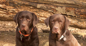 Chocolate labrador in the forest Royalty Free Stock Photography