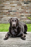 Chocolate Labrador in Garden Stock Images