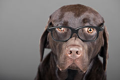 Chocolate Labrador in Glasses Royalty Free Stock Images
