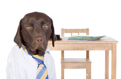 Chocolate Labrador Going Back to School Stock Photography