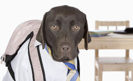 Chocolate Labrador Going Back to School Royalty Free Stock Photos