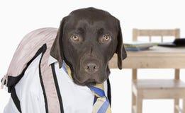 Chocolate Labrador Going Back to School Royalty Free Stock Photos