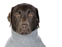 Chocolate Labrador in Grey Roll Neck Jumper. Handsome Chocolate Labrador in Grey Roll Neck Jumper Royalty Free Stock Photos